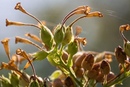 tabaco: Árbol del tabaco con semillas y la luz del sol