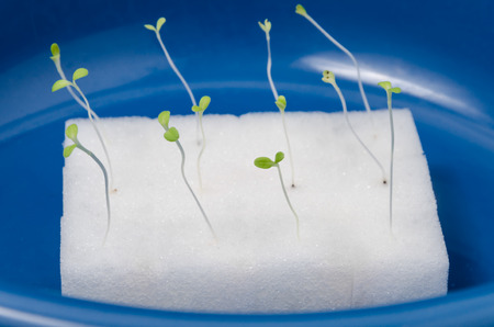 Green hydroponics sprouts in wet white sponge in enameled bowl Stock Photo