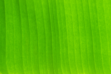 Green banana leaf background backlit texture detail