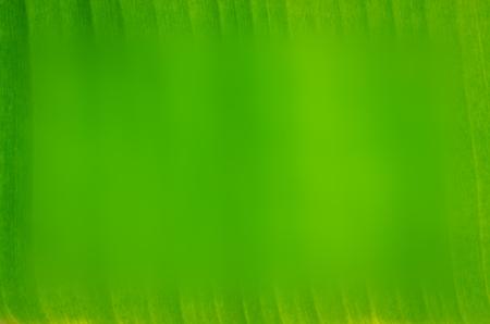 Green banana leaf background backlit texture detail with blurred in center copy space