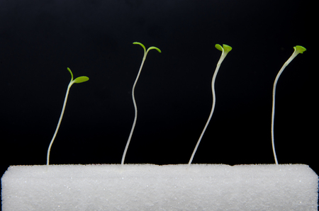 Isolated of green hydroponics sprouts in wet white sponge on black background