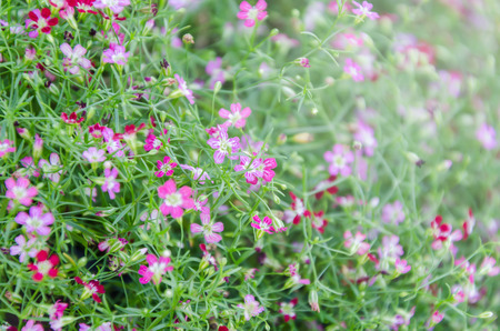 Close up of Gypsophila in flower garden background in morning sunlight