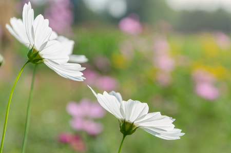 White cosmos flowers in colorful flower garden with copy space stock stock photo white cosmos flowers in colorful flower garden with copy space mightylinksfo