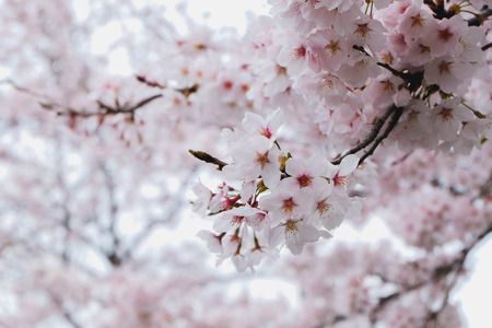 full bloom: Cherry Blossom Full Bloom Season