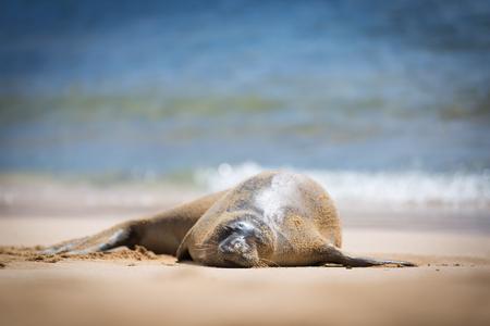 A sleeping Hawaiian Monk Seal on the Poipu Beach, Kauai, Hawaii