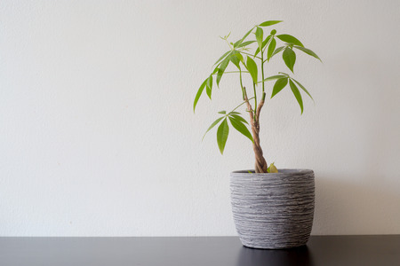 Money tree in a pot on a black wooden table white wall background Stok Fotoğraf
