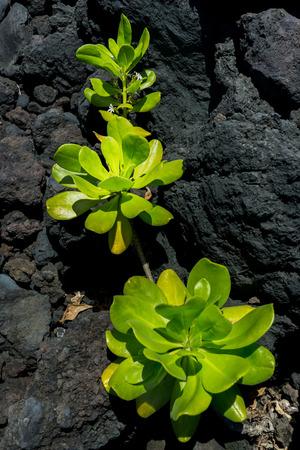 Green vegetation grow on the lava rock at Hawaii.