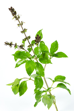 primarily: The herb is grown primarily in northeastern Africa and southern Asia for its strong fragrant lemon scent, and is used in cooking. Stock Photo