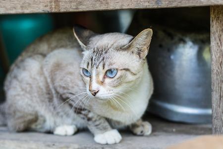 side shot: Side shot of Thai cat, blue eyes cat