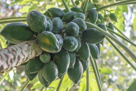 green papaya: Green papaya, main ingredient for Thai dish Somtam (papaya slad).