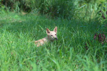 crouch: Rural dog hiding in green field