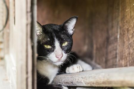side shot: Side shot of Thai cat, yellow eyes cat Stock Photo