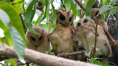The collared scops owl Otus lettia is an owl which is a resident breeder in south Asia from northern Pakistan, northern India. Bangladesh and the Himalayas east to south China.