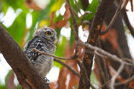 Spotted owlet - Owl (Athene brama) looking at us in nature at Wachirabenchathat Park, Thailand
