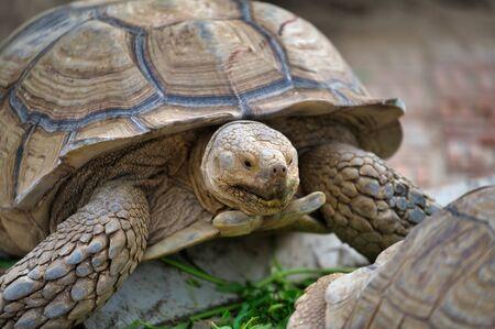 Desert tortoise also known as desert turtles, are two species of tortoise