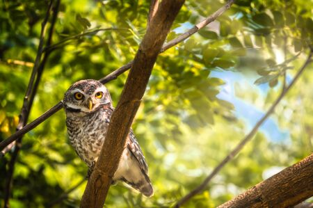 Spotted owlet are natural wildlife. Resident of open habitats including farmland and human habitation.