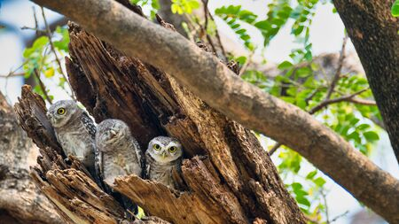 3 birds that live as families are located  in the hollows of trees with a white background.Spotted owlet are natural wildlife. Resident of open habitats including farmland and human habitation.