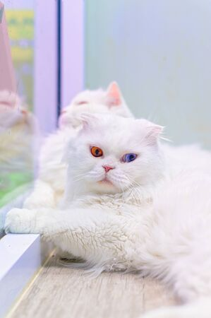 Young cute cat resting on wooden floor. The Scottish Fold long-haired pedigreed kitten. Two eye colors cat Stock Photo