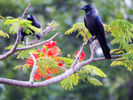 Black crow portrait close up, Black crow. Southern Thailand, phuket. Reklamní fotografie - 114445855
