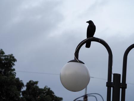 Black crow portrait close up, Black crow. Southern Thailand, phuket.