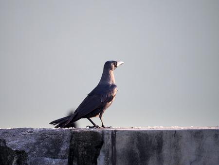 Black crow Southern Thailand, Phuket.