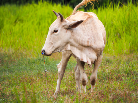 cow in Southern of Thailand.