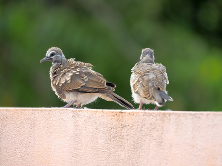 Pigeon bird concept. Feral pigeon