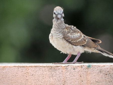 Pigeon bird concept. Feral pigeon Reklamní fotografie - 98974532