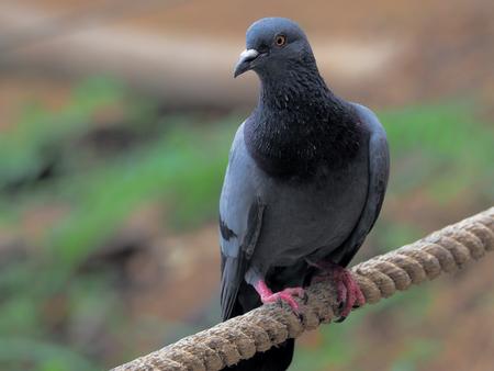 Pigeon bird concept. Feral pigeon Reklamní fotografie - 99051695