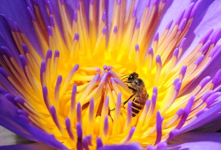 close up of purple lotus and bee