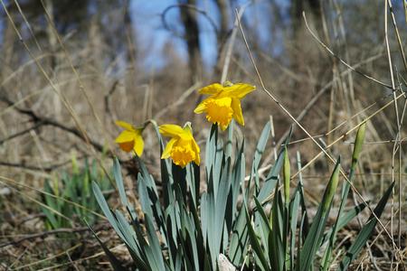 KANSAS: Three daffodils (narcissus pseudonarcissus) freshly opening in the Kansas spring. Stock Photo