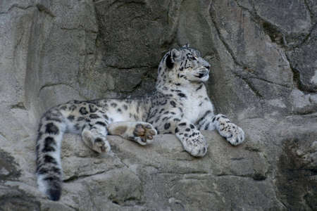blotched: Snow leopard lying on the cliff Stock Photo