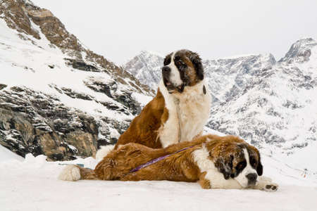 Couple of St. Bernardine dogs in the mountains. Rescue dogs photo