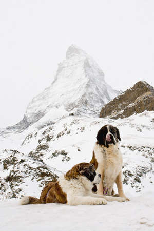swiss alps: Cute St. Bernardine dogs in Swiss Alps. Rescue dogs