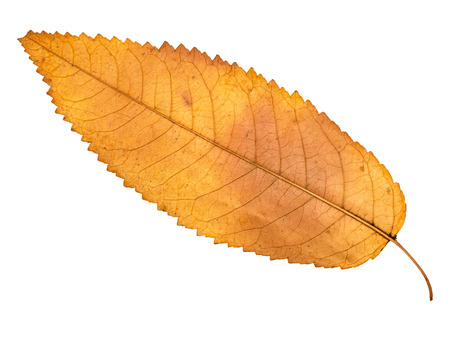dried yellow autumn leaf of ash tree cut out on white background