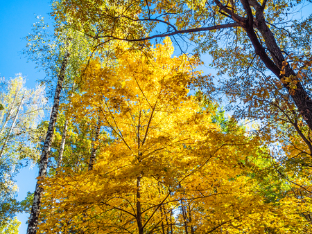 top of maple and birch trees lit by sun in forest of urban park in sunny autumn day