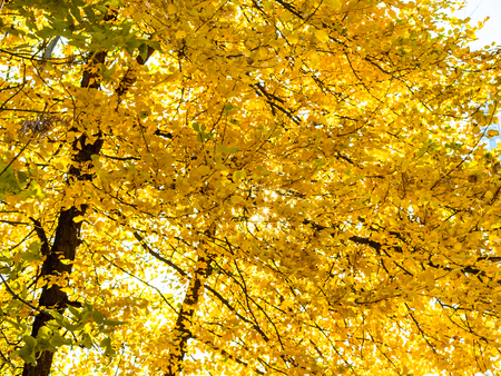 yellow foliage of linden tree lit by sun in urban park in sunny autumn day