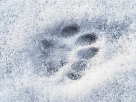 frozen cat footprint close up on surface of the first snow Stockfoto