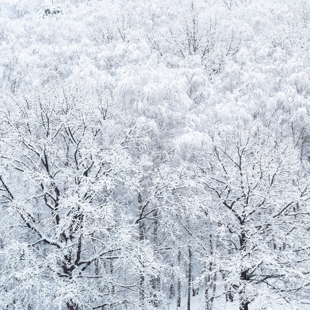 aerial view of two snow-covered oak trees in birch grove after heavy snowfall in winter Stock Photo