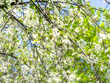 tree branches with white blossoms in orchard in sunny spring day Archivio Fotografico