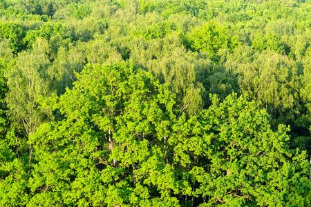 aerial view of green oak tree illuminated by sunset sun in forest in summer evening