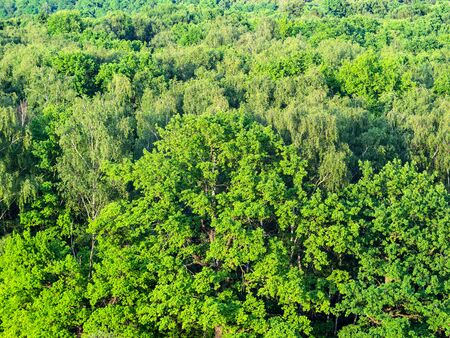 aerial view of oak tree in green forest in sunny summer day