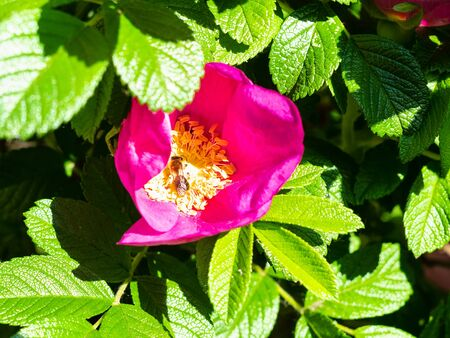 bee collects pollen from dog rose flower in sunny spring day
