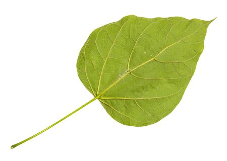back side of fresh green leaf of catalpa (catalpa bignonioides, southern catalpa, cigartree) tree cut out on white background Imagens