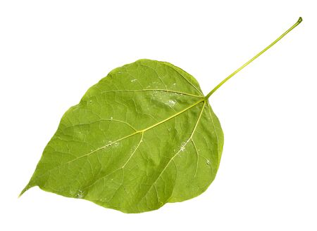 back side of natural green leaf of catalpa (catalpa bignonioides, southern catalpa, cigartree) tree cut out on white background