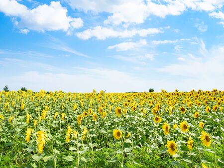 rural landscape - sunflower field under blue sky with white clouds on summer afternoon in Kuban region of Krasnodar Krai of Russia Imagens