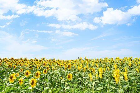 rural landscape - sunflower field under blue sky with white clouds on sunny summer day in Kuban region of Krasnodar Krai of Russia