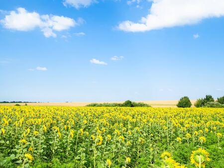 rural landscape - blue sky with white clouds over sunflower field on sunny summer afternoon in Kuban region of Krasnodar Krai of Russia