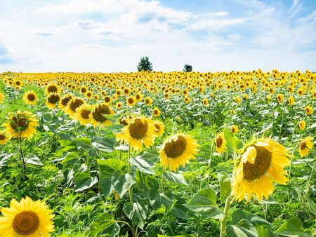 rural landscape - sunflower field on sunny summer afternoon in Kuban region of Krasnodar Krai of Russia Imagens