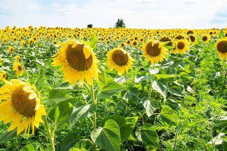 rural landscape - flowers close-up at sunflower field on summer afternoon in Kuban region of Krasnodar Krai of Russia